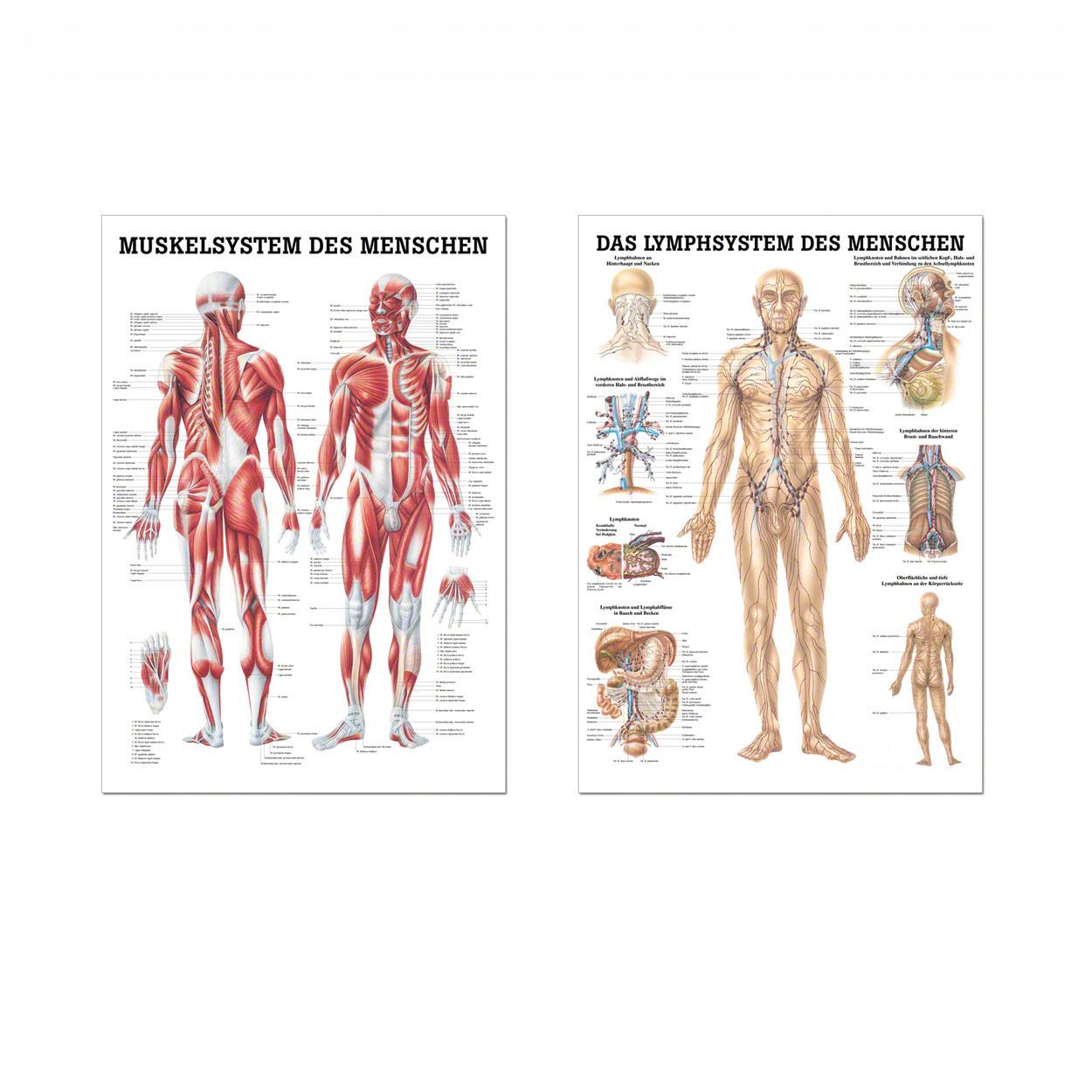 Berühmt Funktionen Des Muskelsystems Fotos - Anatomie Ideen ...