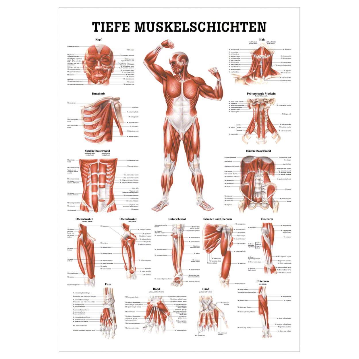 Groß Muskeln In Der Brust Fotos - Menschliche Anatomie Bilder ...