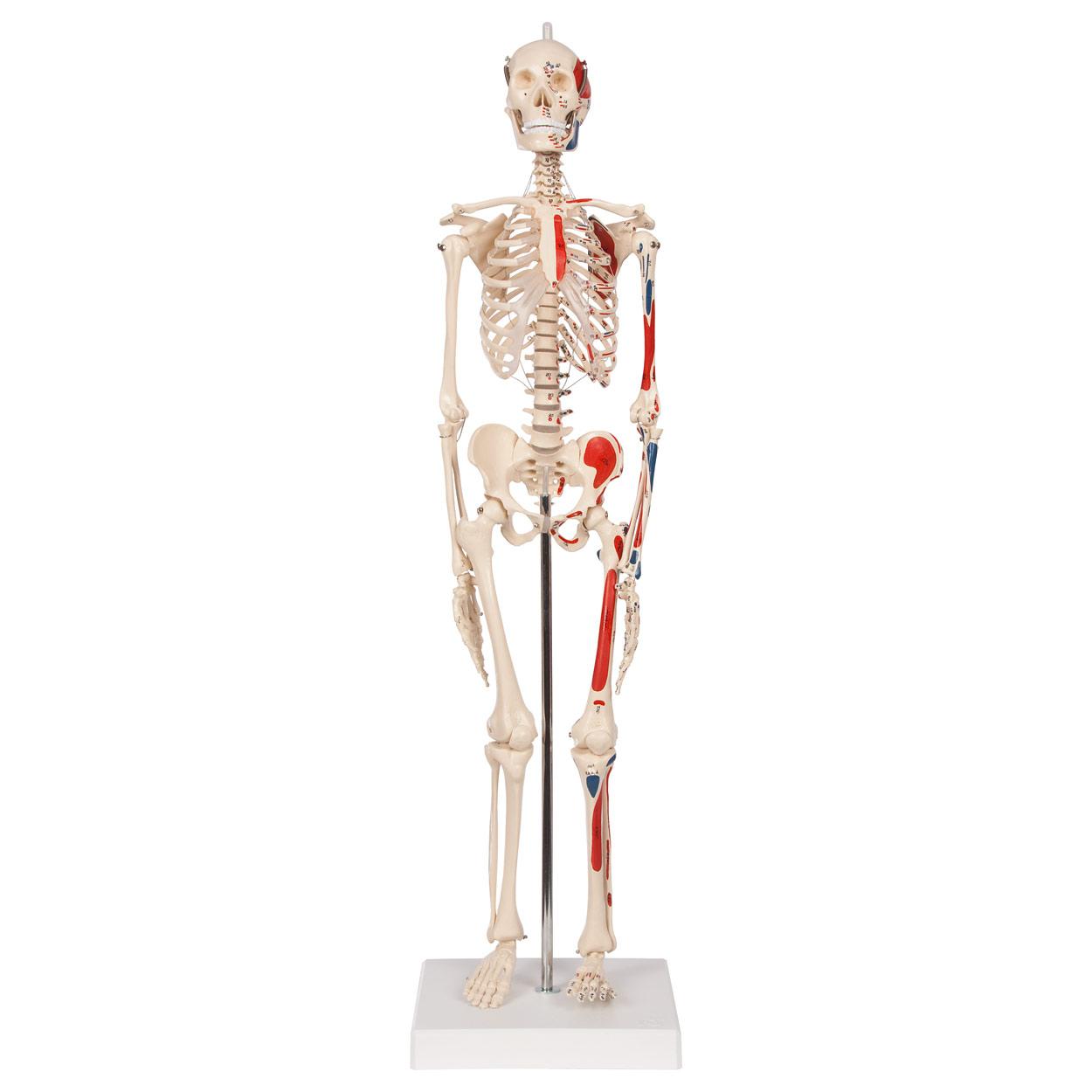 Nett Muskel Skelett Anatomie Malbuch Bilder - Malvorlagen Von Tieren ...