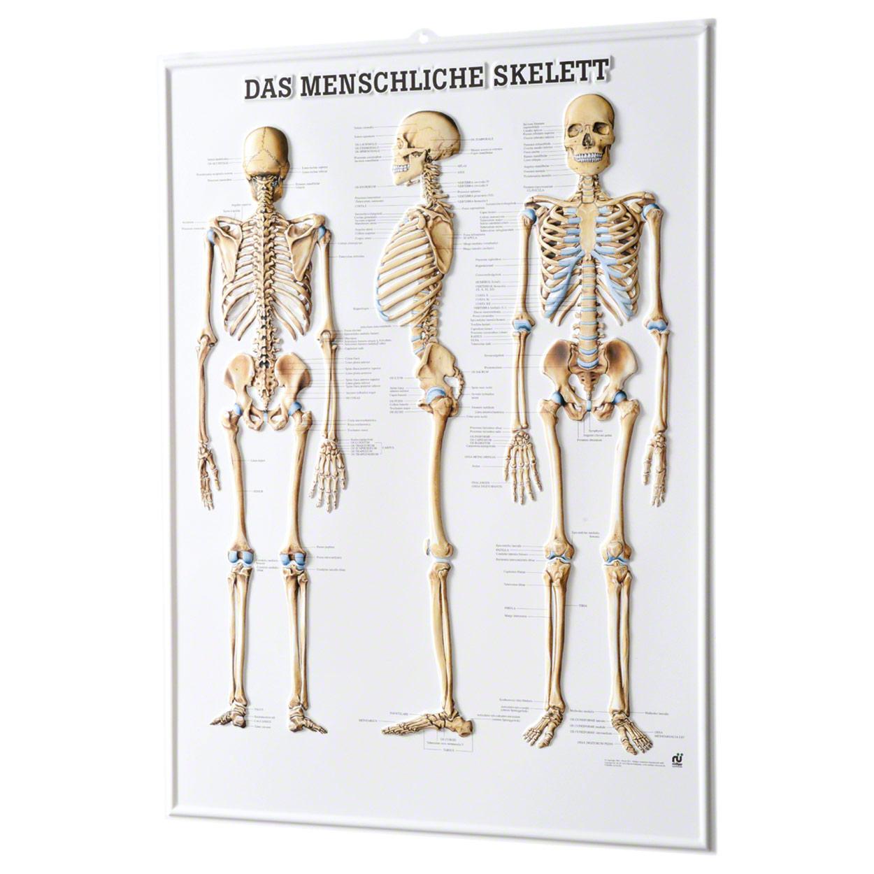 Relieftafel Das menschliche Skelett, LxB 74x54 cm - Sport-Tec.de ...
