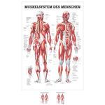 """Lehrtafeln - Lehrtafel """"Menschliches Muskelsystem"""", LxB 100x70 cm,"""