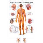 """anatomische Lehrtafeln - Lehrtafel """"Das Nervensystem"""", LxB 100x70 cm"""