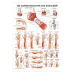 "anatomische Poster - Mini-Poster ""Handmuskulatur"", LxB 34x24 cm"