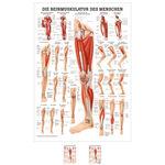 """anatomische Poster - Poster """"Die Beinmuskulatur"""", LxB 70x50 cm"""