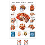 """anatomische Lehrtafeln - Lehrtafel """"Das Gehirn"""", LxB 100x70 cm"""