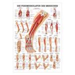 """anatomische Poster - Mini-Poster """"Die Fußmuskulatur"""", LxB 34x24 cm"""