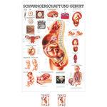 """anatomische Lehrtafeln - Lehrtafel """"Schwangerschaft u. Geburt"""", LxB 100x70 cm"""