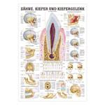 """anatomische Lehrtafeln - Mini-Poster """"Zähne und Kiefergelenk"""", LxB 34x24 cm"""
