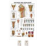 """anatomische Lehrtafeln - Lehrtafel """"Rachen u. Kehlkopf"""", LxB 100x70 cm"""