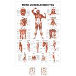 """Lehrtafeln - Lehrtafel """"Tiefe Muskelschichten-Brust"""" , LxB 100x70 cm"""