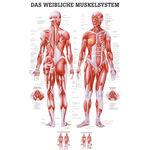 """anatomische Lehrtafeln - Lehrtafel """"Weibliches Muskelsystem"""", LxB 100x70 cm"""