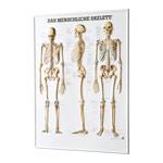 Skelett Modell - Relieftafel Das menschliche Skelett, LxB 74x54 cm