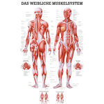 """anatomische Poster - Poster """"Weibliches Muskelsystem"""", LxB 70x50 cm"""