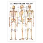"""anatomische Poster - Mini-Poster """"Das menschliche Skelett"""", LxB 34x24 cm"""