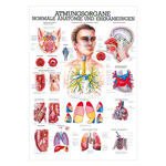 "anatomische Poster - Mini-Poster ""Atmungsorgane"", LxB 34x24 cm"