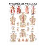 """anatomische Lehrtafeln - Mini-Poster """"Muskulatur der Wirbelsäule"""", LxB 34x24 cm"""