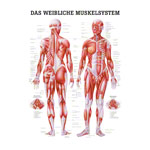 Poster Weibliches Muskelsystem, LxB 70x50 cm