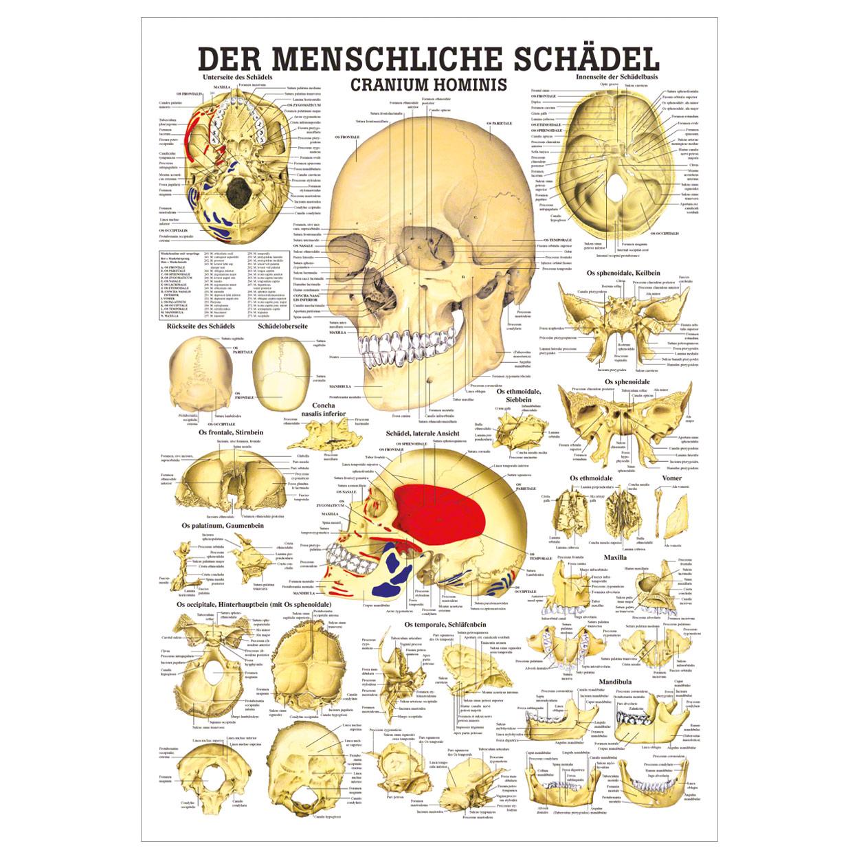 Der Schäde Lehrtafel Anatomie 100x70 cm medizinische Lehrmittel | eBay