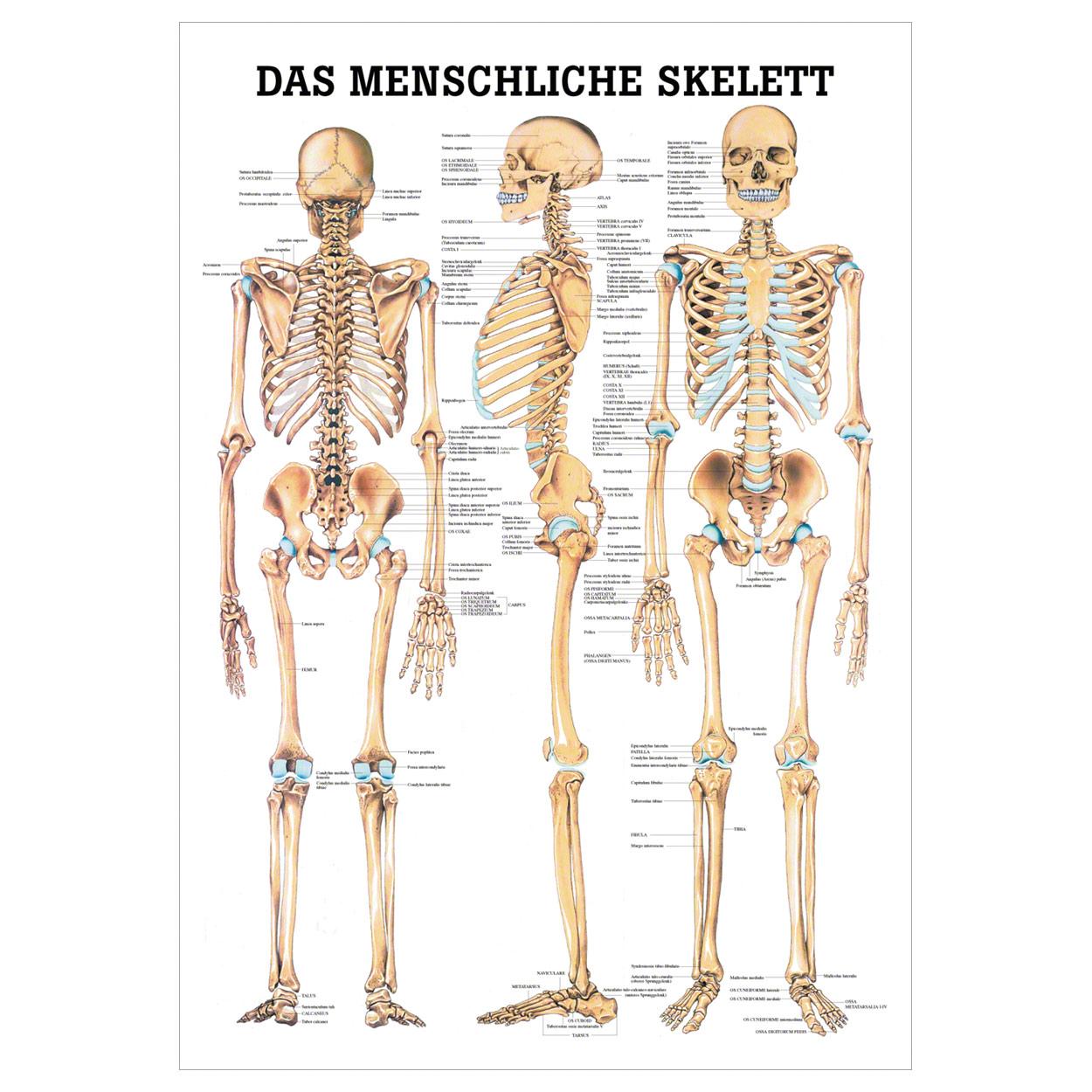 Das menschliche Skelett Lehrtafel Anatomie 100x70 cm medizinische ...