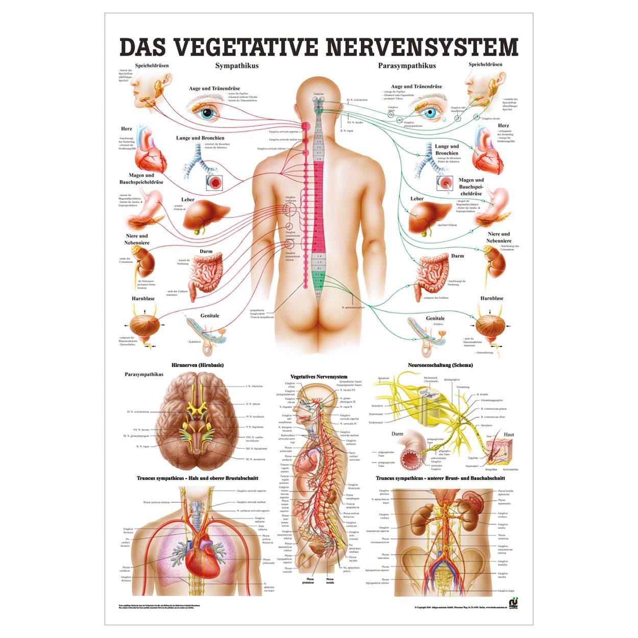 Vegetatives Nervensystem Lehrtafel Anatomie 100x70 cm medizinische ...