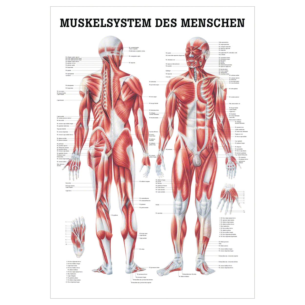 Menschliches Muskelsystem Lehrtafel Anatomie 100x70 cm medizinische ...