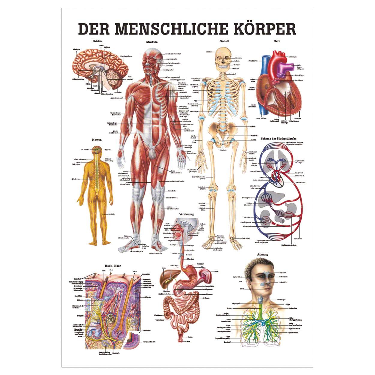 Der menschliche Körper Mini-Poster Anatomie 34x24 cm medizinische ...