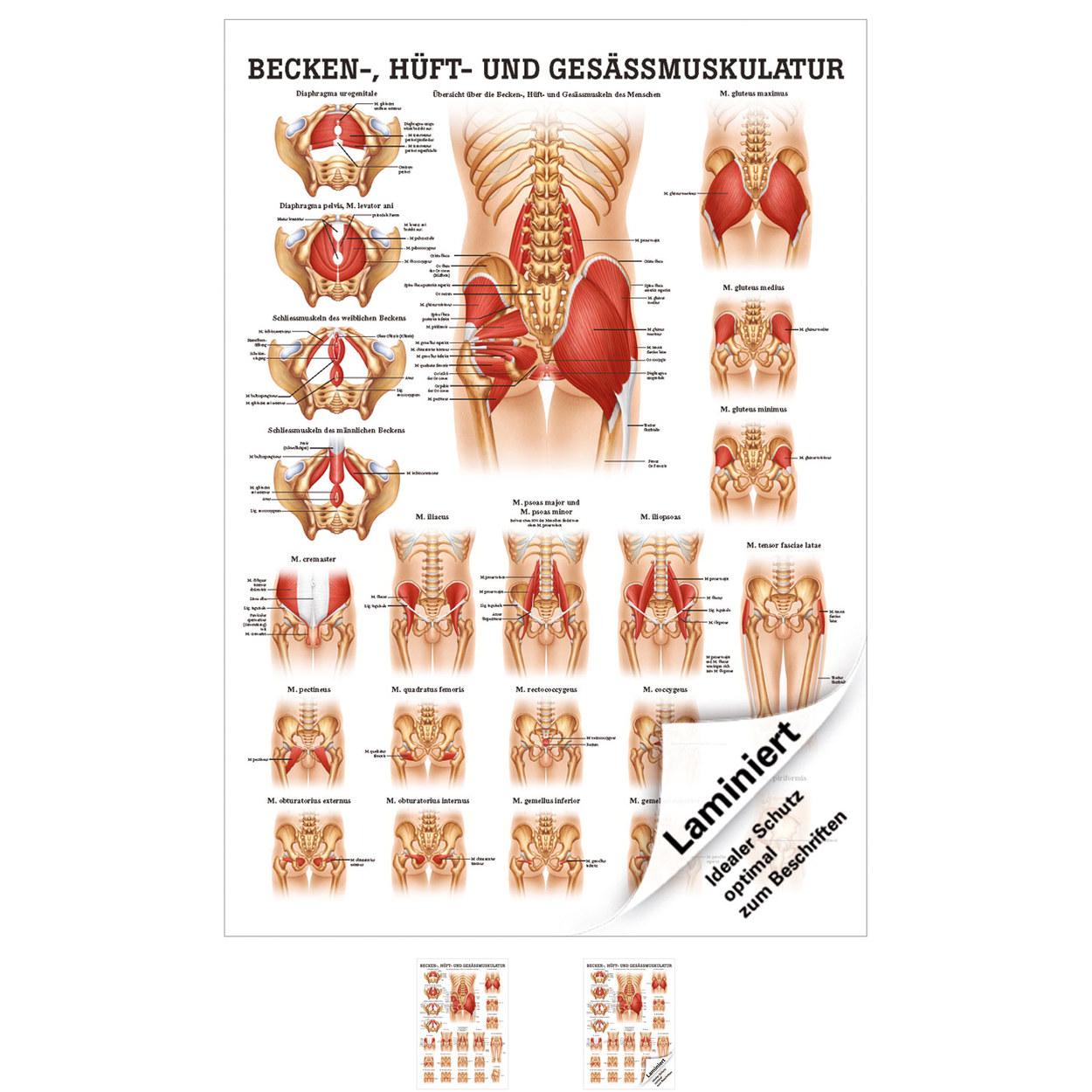 Schön Hüftmuskel Diagramm Galerie - Menschliche Anatomie Bilder ...