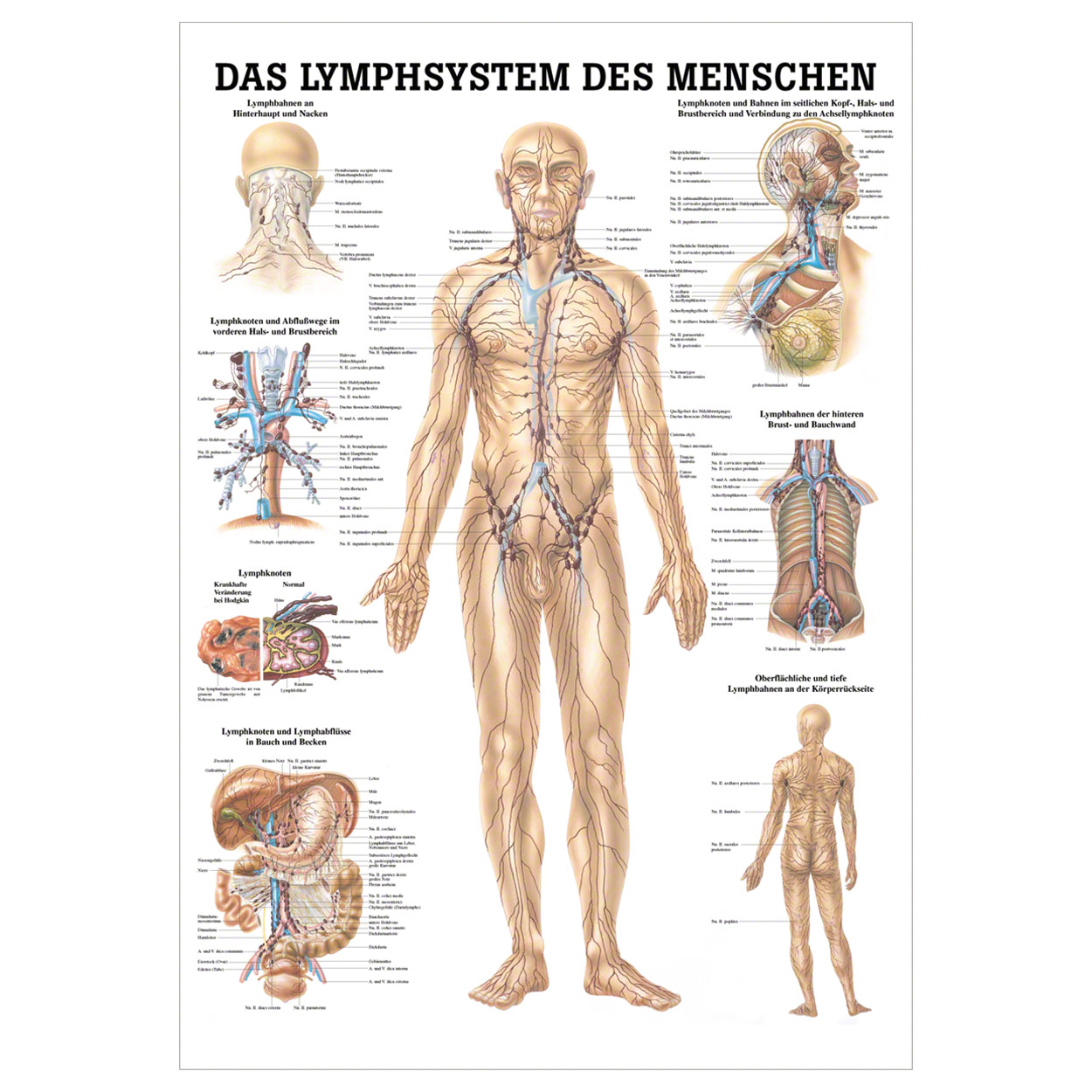 Das Lymphsystem Lehrtafel Anatomie 100x70 cm medizinische Lehrmittel ...