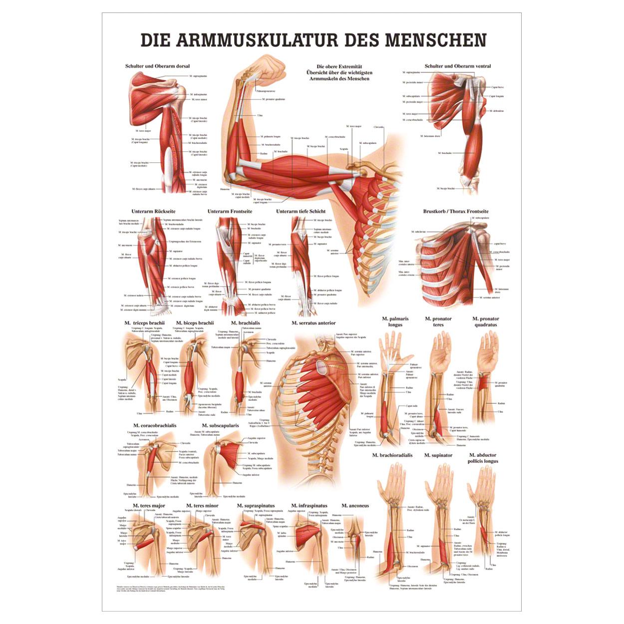 Armmuskulatur Mini-Poster Anatomie 34x24 cm medizinische Lehrmittel ...