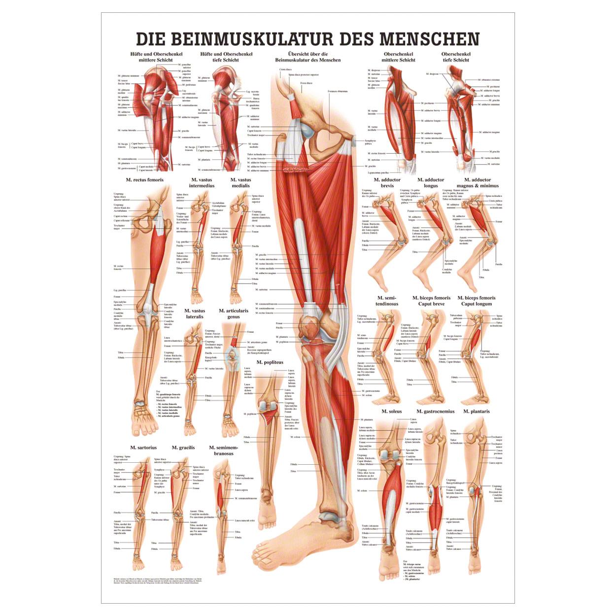 Beste Anatomie Beinmuskeln Fotos - Physiologie Von Menschlichen ...