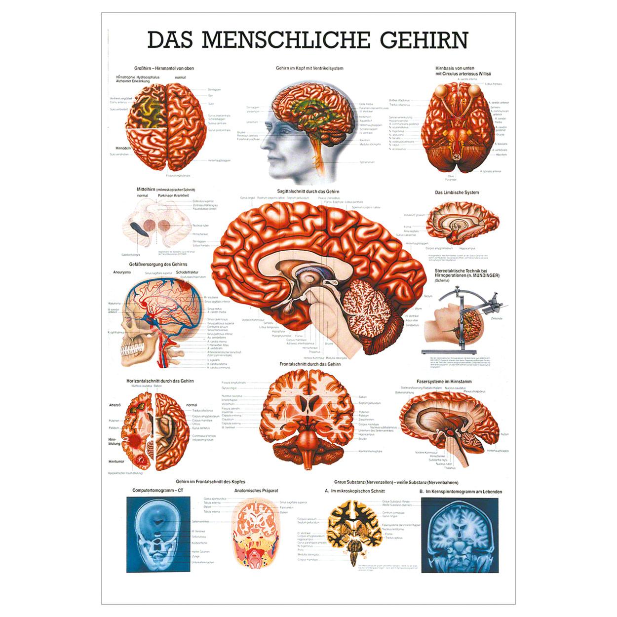 Ausgezeichnet Anatomie Des Gehirns Malvorlagen Fotos - Anatomie ...