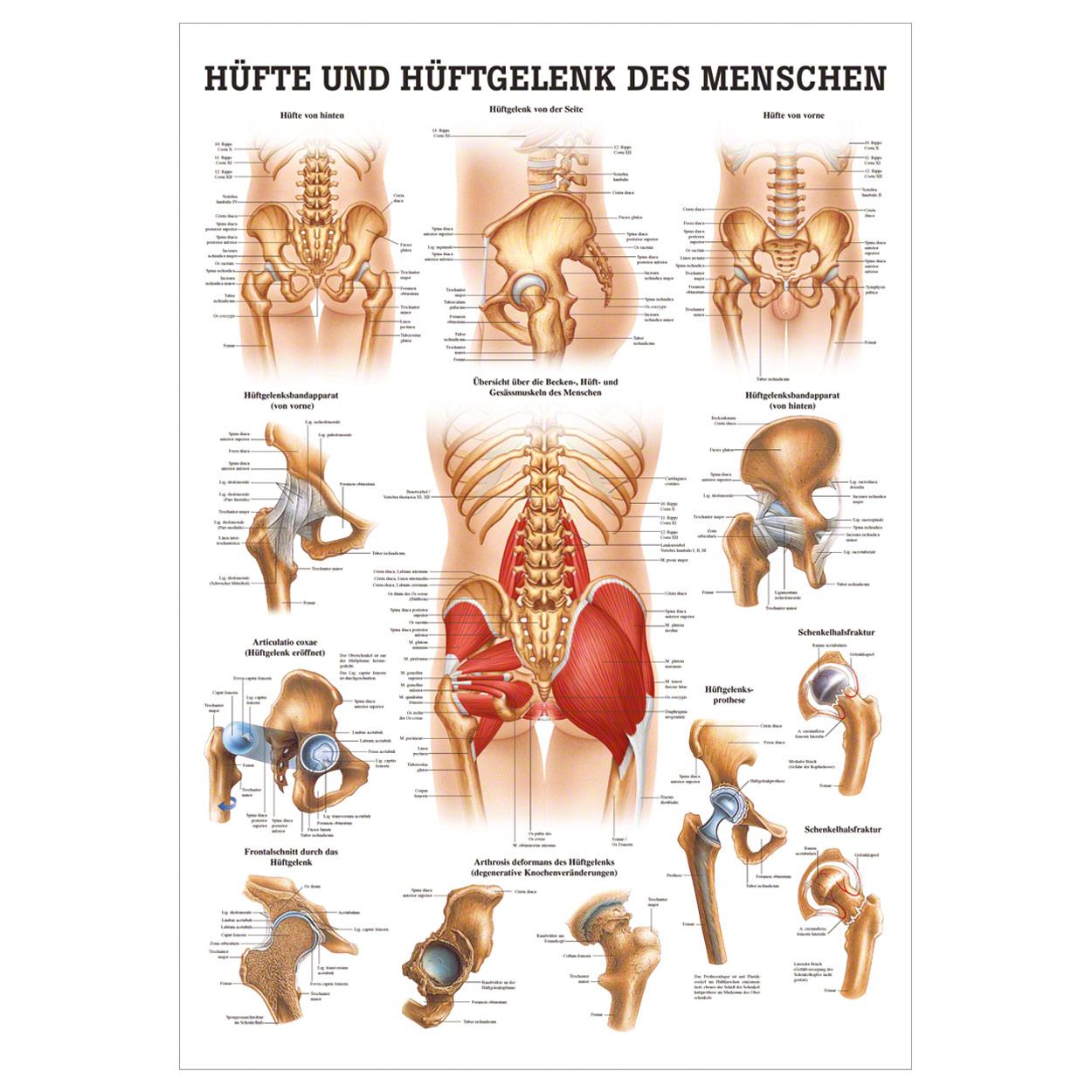 Fein Die Anatomie Der Hüfte Ideen - Menschliche Anatomie Bilder ...