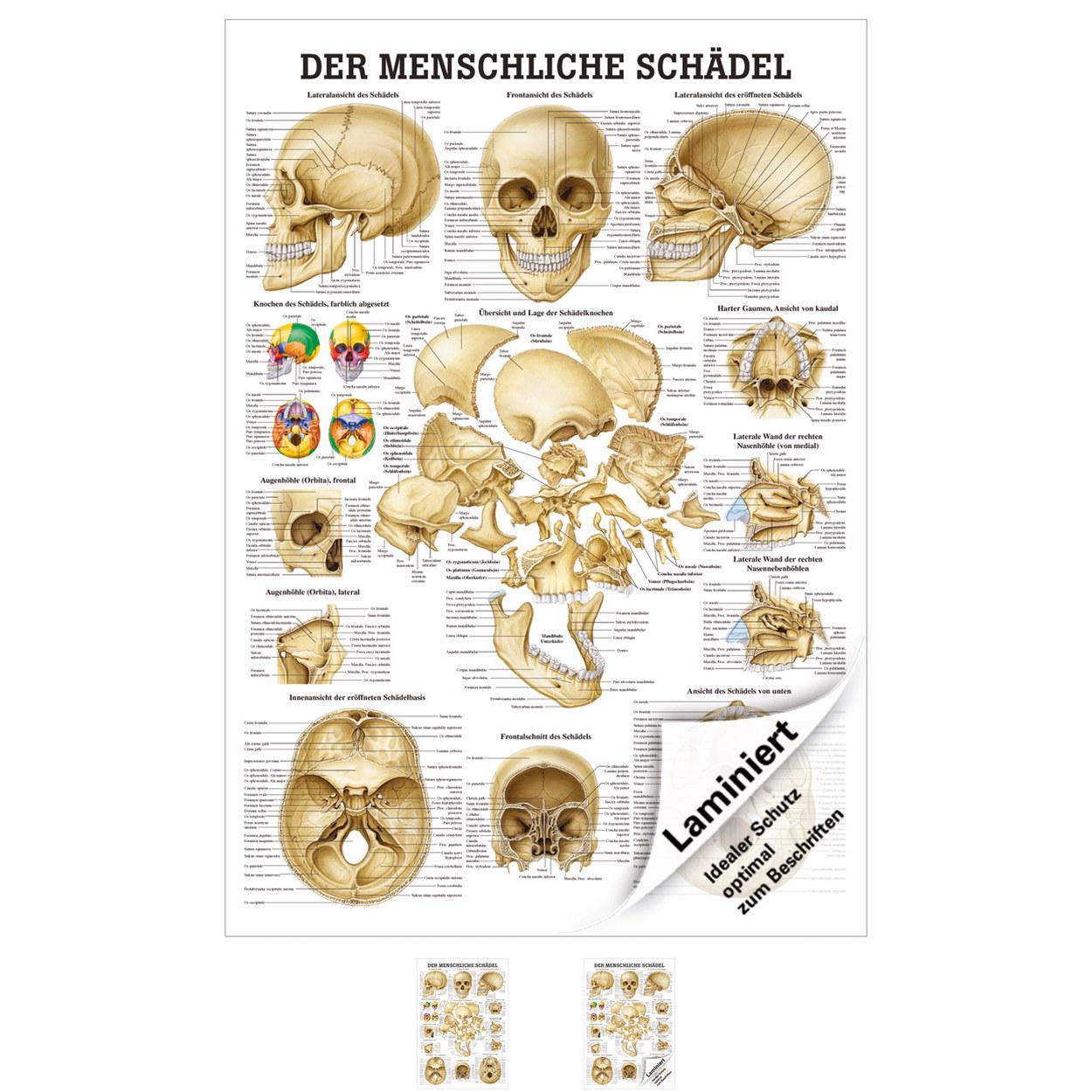 Schädel und Schädelknochen Mini-Poster Anatomie 34x24 cm ...