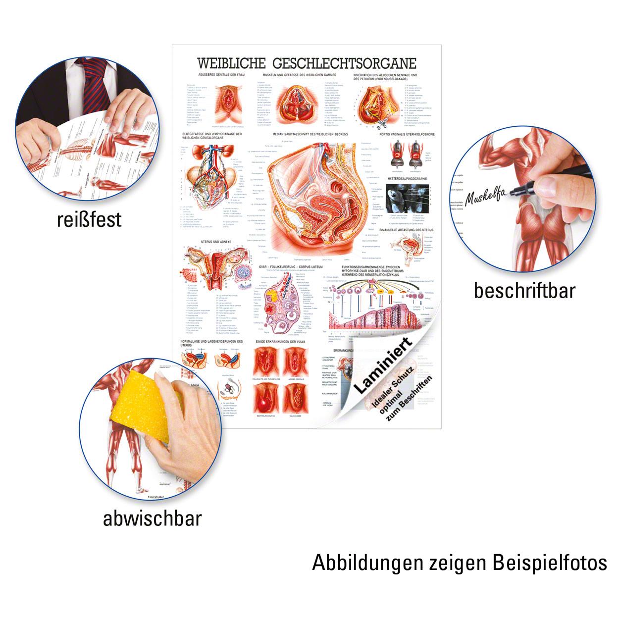 Weibliche Geschlechtsorgane Lehrtafel Anatomie 100x70 cm ...