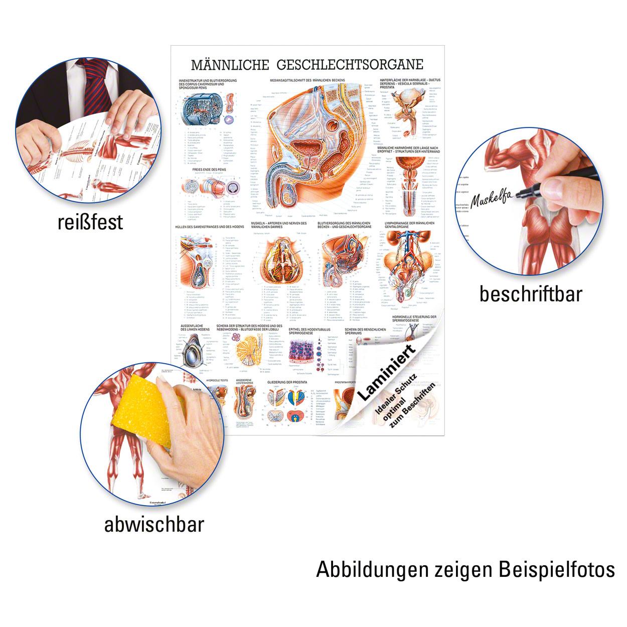 Männliche Geschlechtsorgane Lehrtafel Anatomie 100x70 cm ...