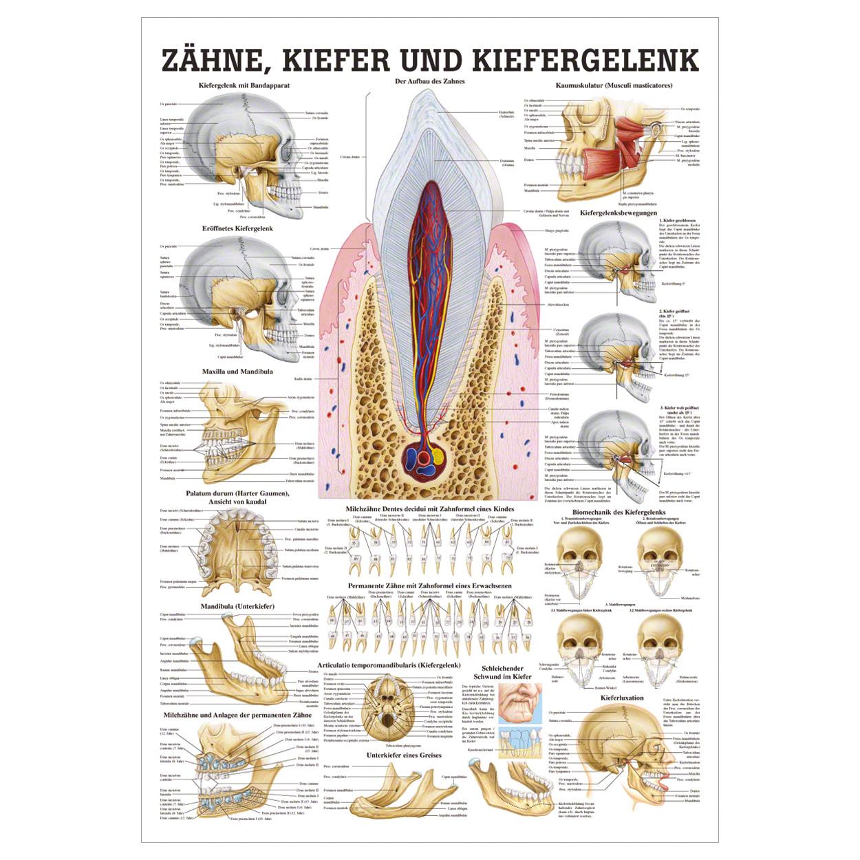 Wunderbar Kieferanatomie Galerie - Anatomie Ideen - finotti.info