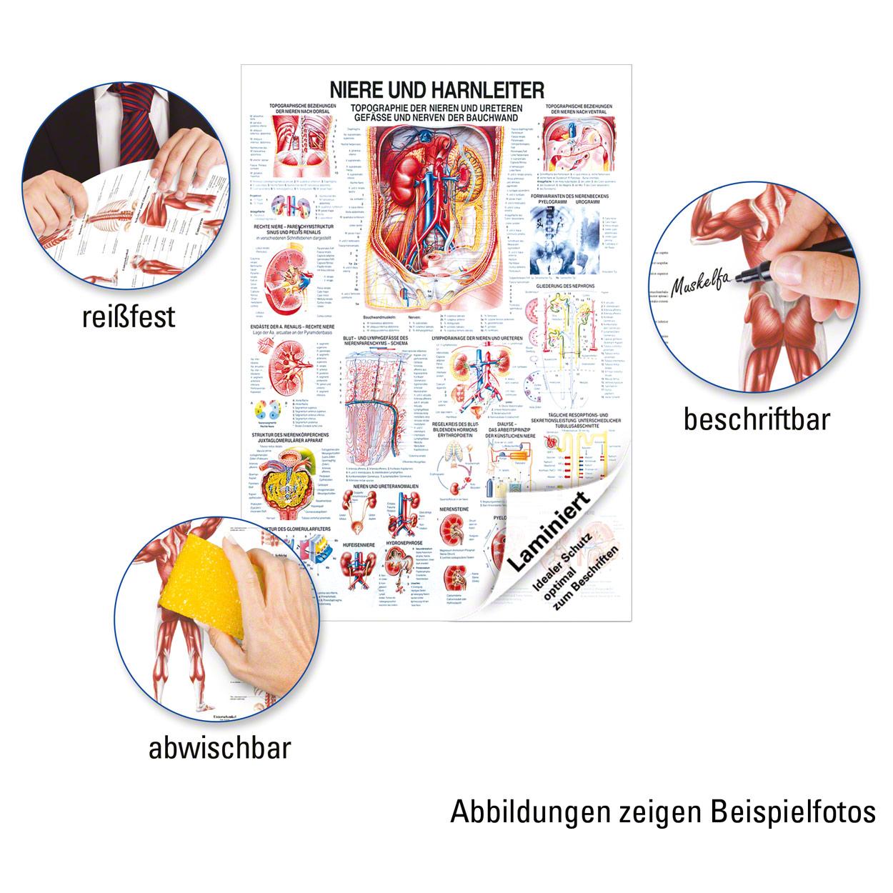 Niere und Harnleiter Lehrtafel Anatomie 100x70 cm medizinische ...