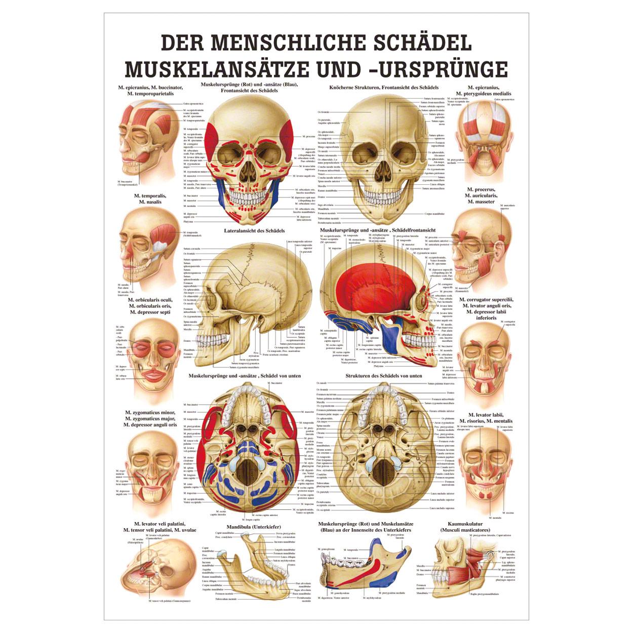 Großzügig Rückseite Des Schädels Diagramm Bilder - Physiologie Von ...