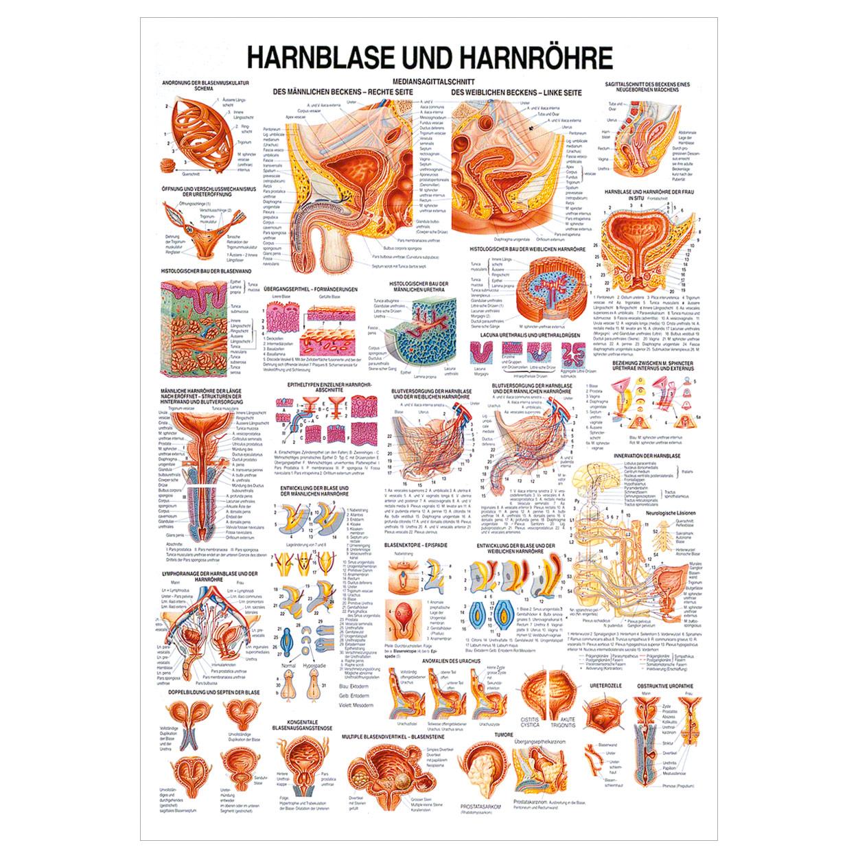 Hanrblase und Harnröhre Lehrtafel Anatomie 100x70 cm medizinische ...