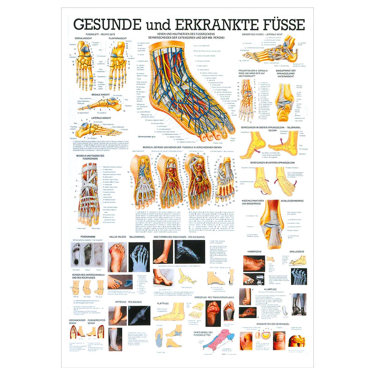 Der Fuß Lehrtafel Anatomie 100x70 cm medizinische Lehrmittel | eBay