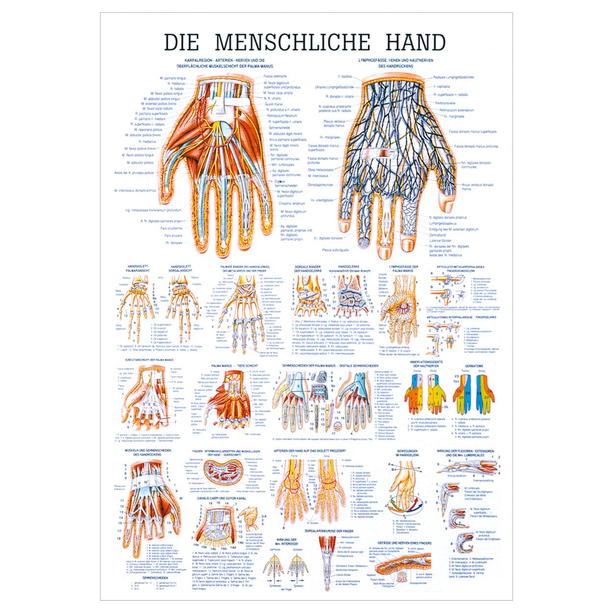 Die Hand Lehrtafel Anatomie 100x70 cm medizinische Lehrmittel   eBay