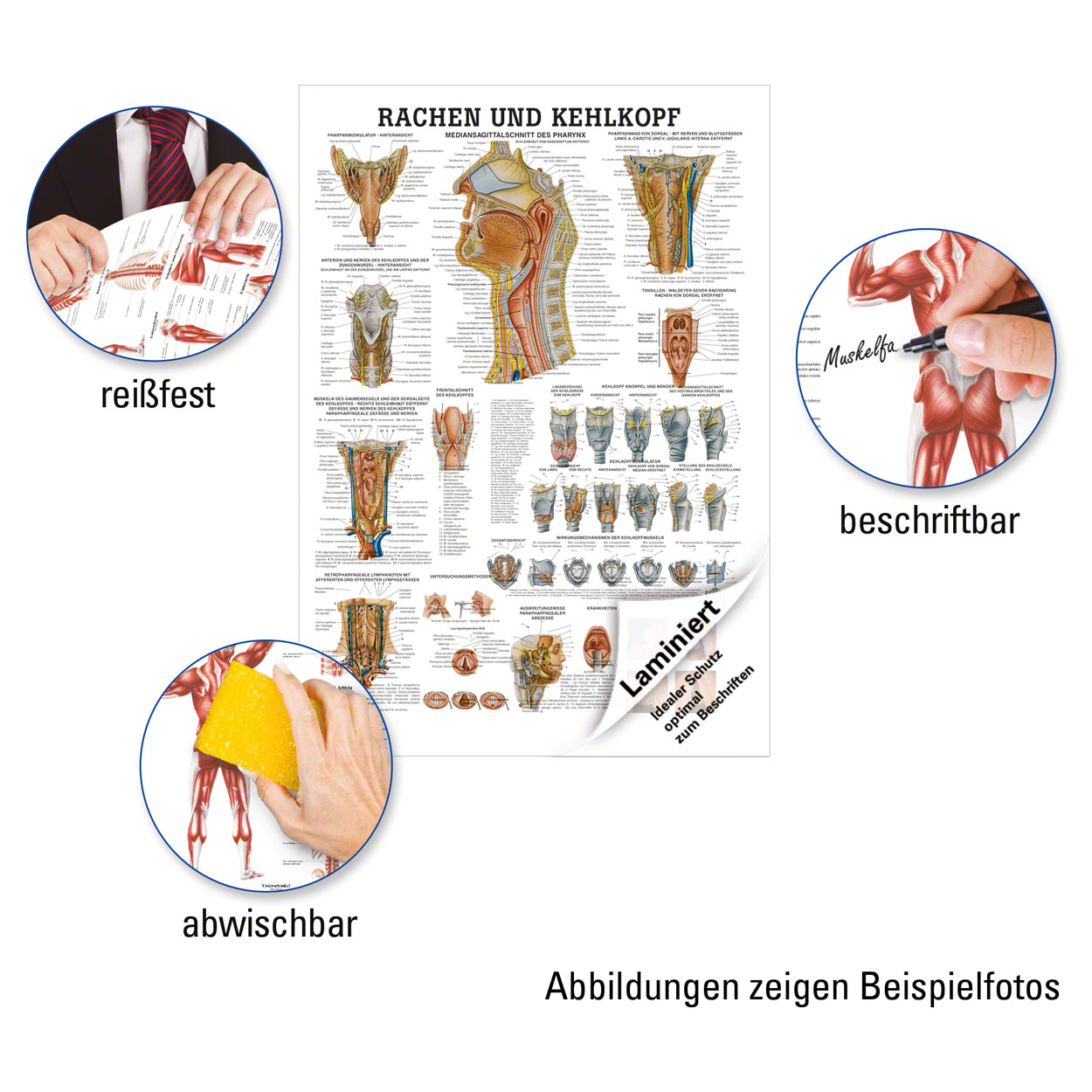 Rachen und Kehlkopf Lehrtafel Anatomie 100x70 cm medizinische ...