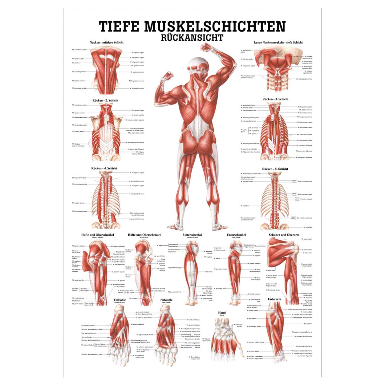 Fantastisch Nackenmuskelanatomie Zeitgenössisch - Anatomie Ideen ...