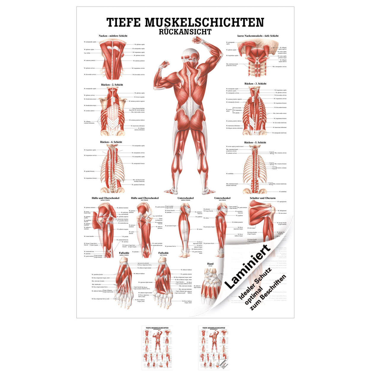 Groß Anatomie Von Rücken Ideen - Anatomie Von Menschlichen ...