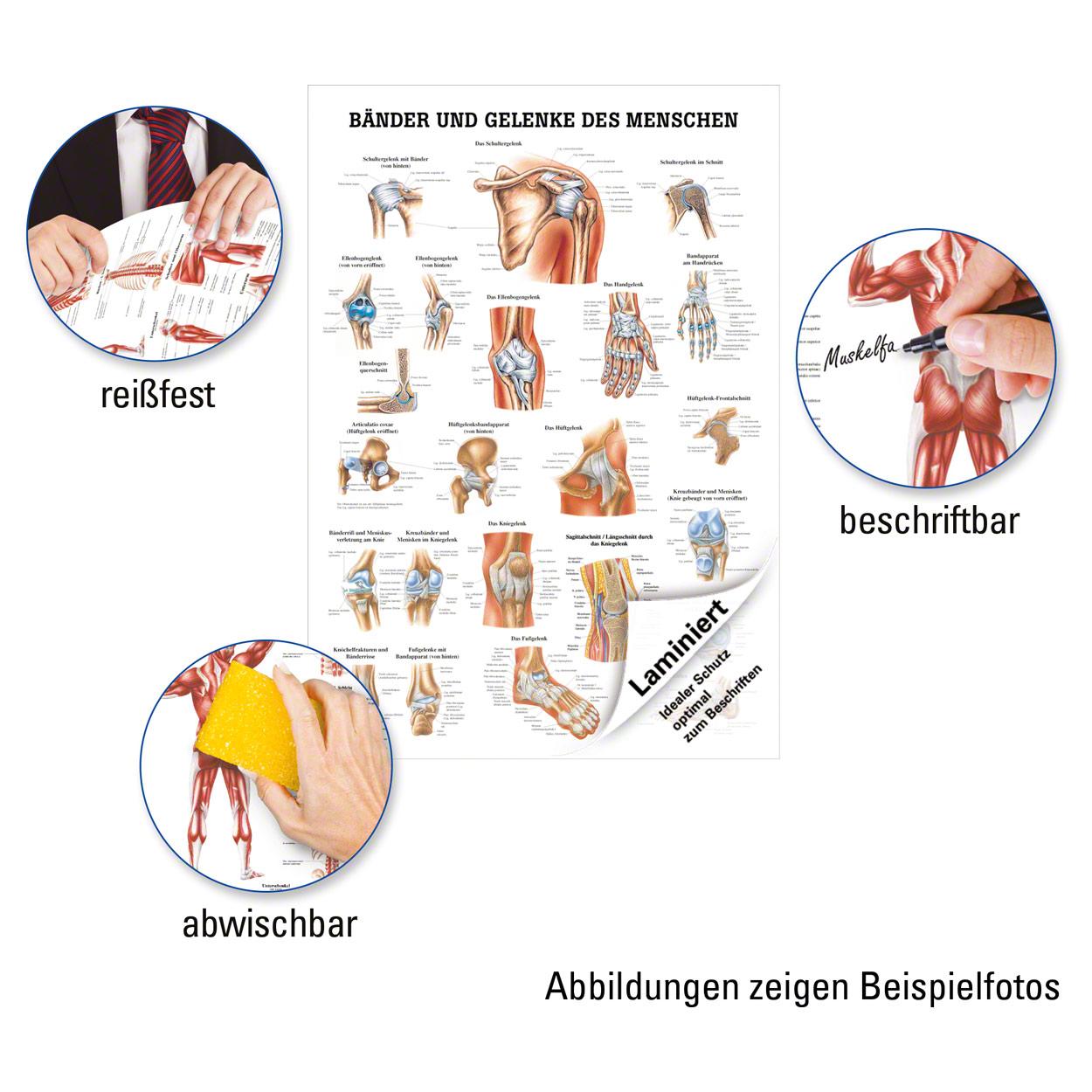 Bänder und Gelenke Lehrtafel Anatomie 100x70 cm medizinische ...