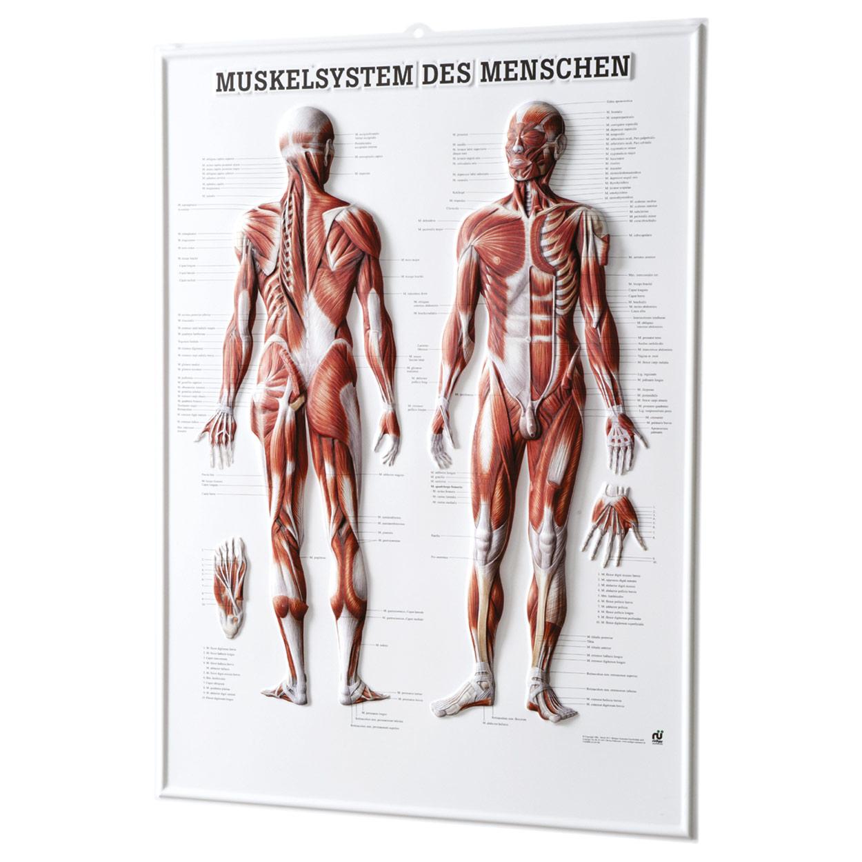 Erfreut Anatomie Und Physiologie Kapitel 10 Muskelsystem ...