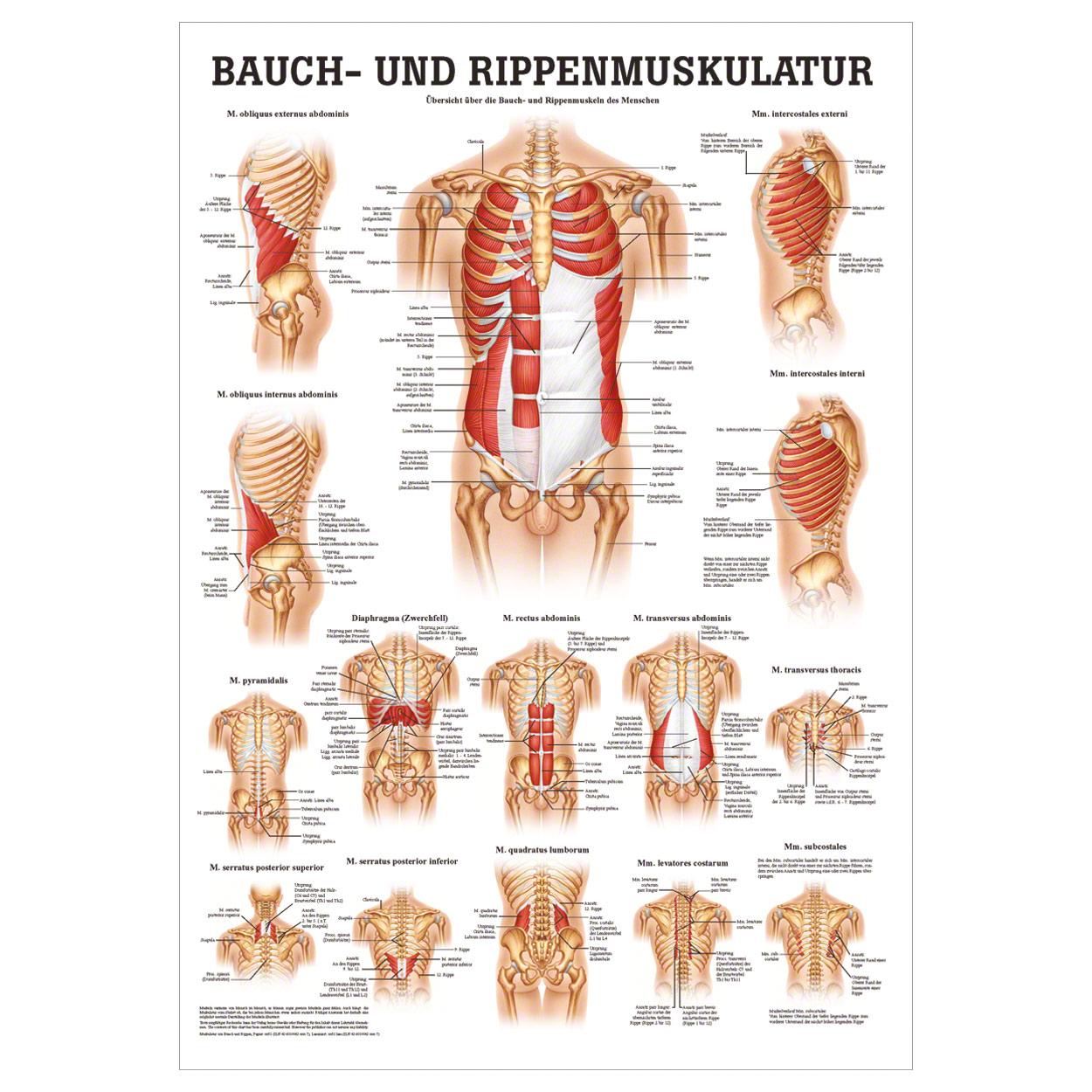 bauch und rippenmuskulatur poster anatomie 70x50 cm. Black Bedroom Furniture Sets. Home Design Ideas