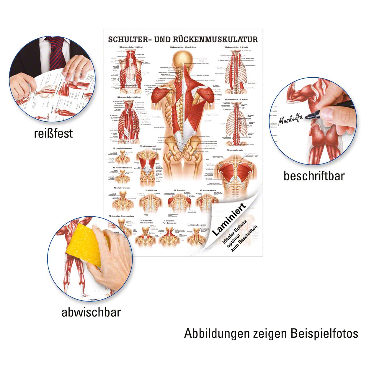 Schulter- und Rückenmuskulatur Poster Anatomie 70x50 cm medizinische ...