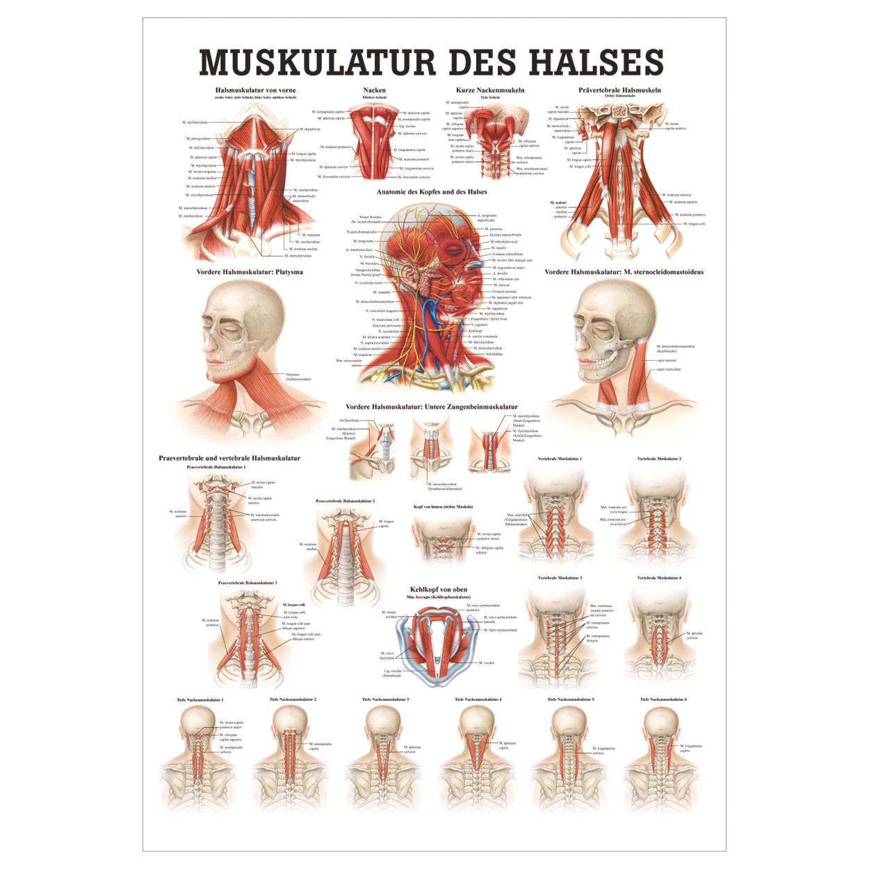 Muskulatur des Halses Poster Anatomie 70x50 cm medizinische ...