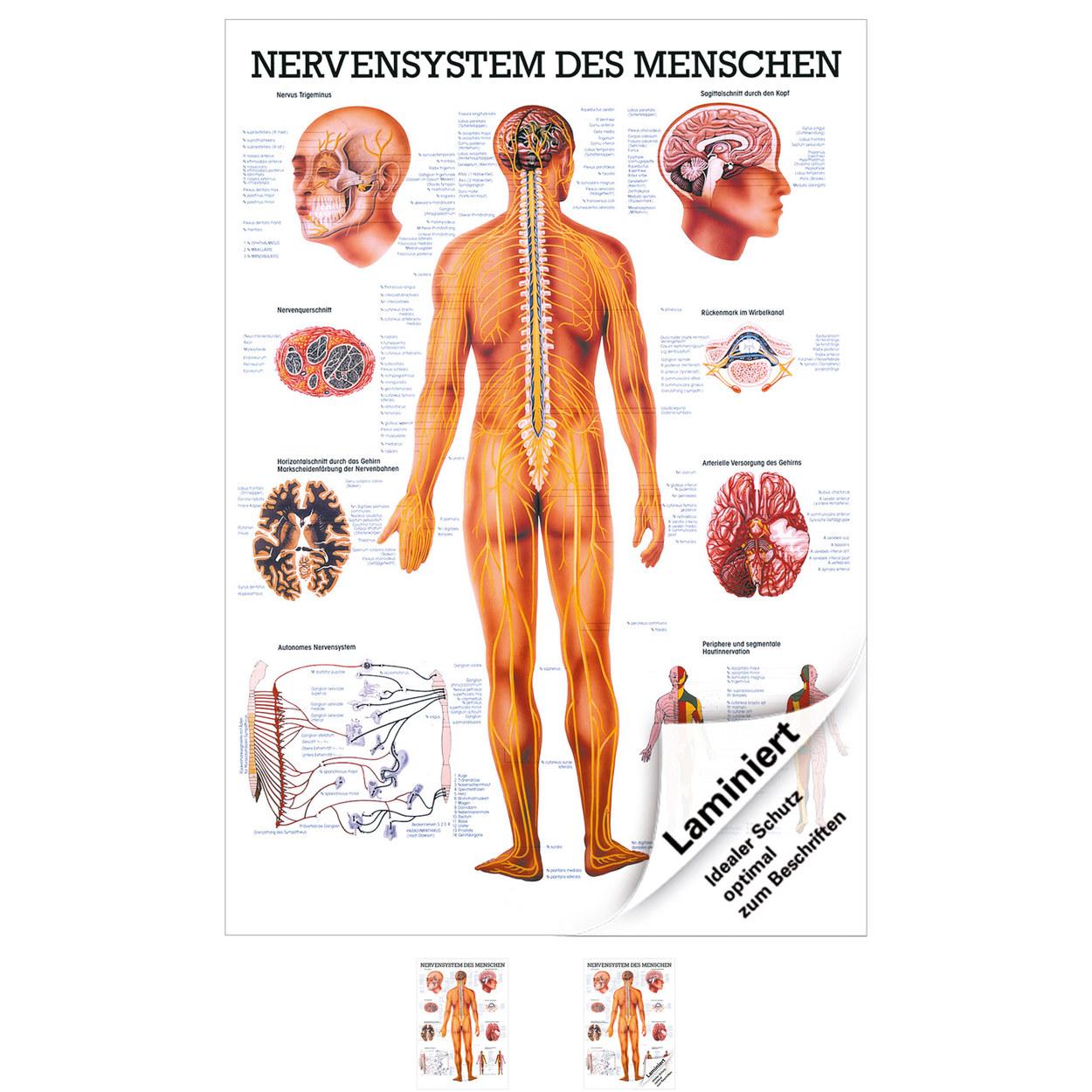 Ziemlich Anatomie Nervensystem Bilder - Menschliche Anatomie Bilder ...
